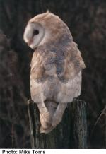 Barn Owl © Mike Toms