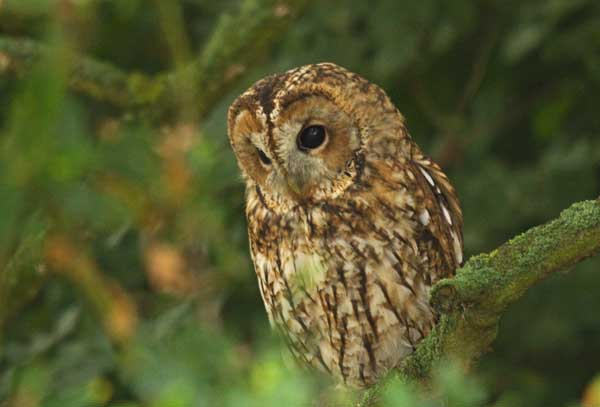 Tawny Owl on branch