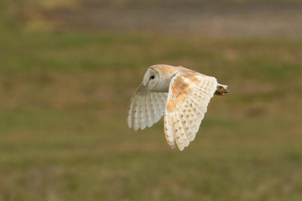 Barn Owl   BTO - British Trust for Ornithology