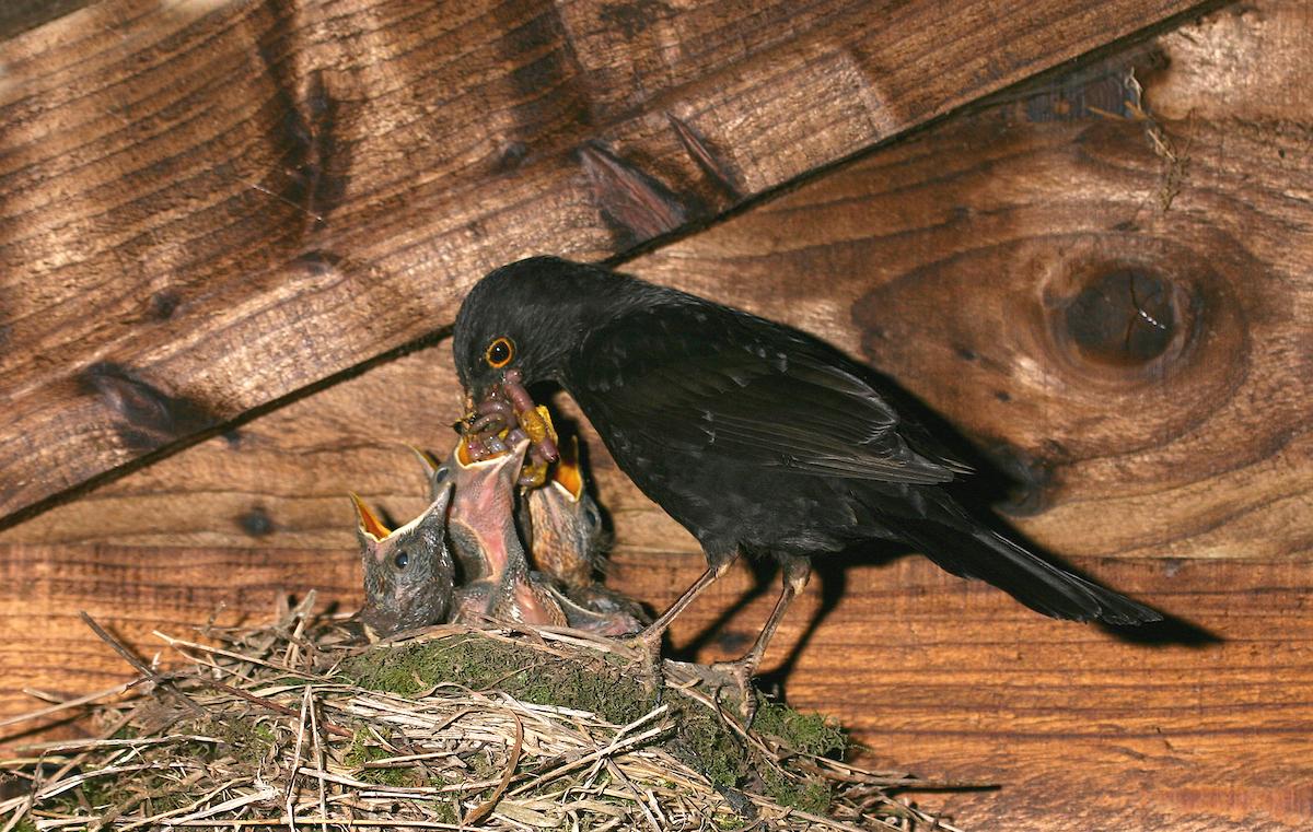 Blackbird feeding chicks in the nest. Photo by Jill Pakenham/BTO.