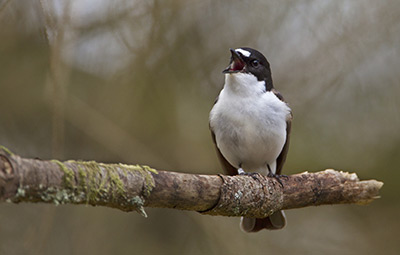 Pied Flycatcher. Photograph by Edmund Fellowes