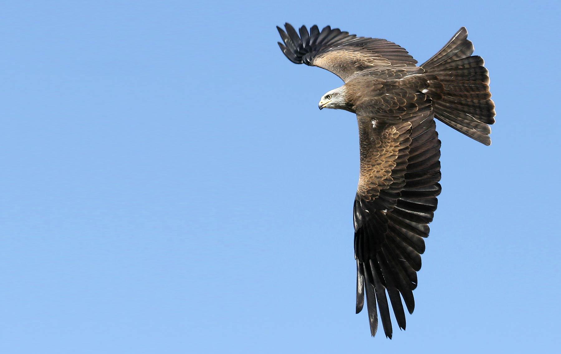 Black Kite. Jill Pakenham