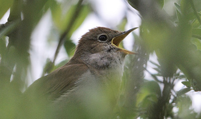 Nightingale. Photograph by Amy Lewis