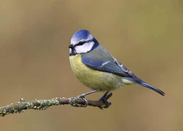Blue Tit on branch. Photo by Liz Cutting/BTO.