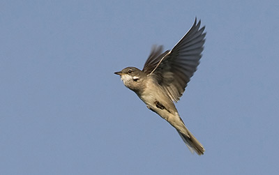 Whitethroat. Photograph by Colin Brown