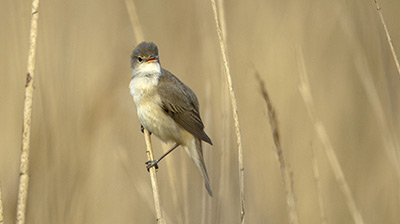 Reed Warbler. Photograph by Graham Catley