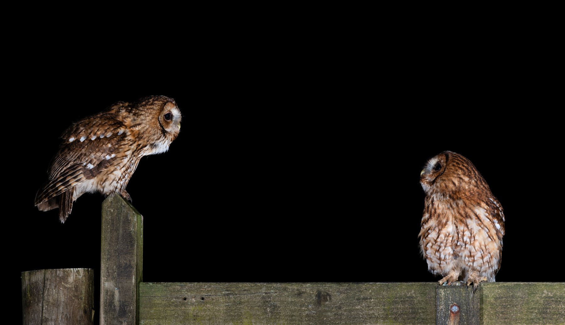 Tawny Owls by Laurence Liddy
