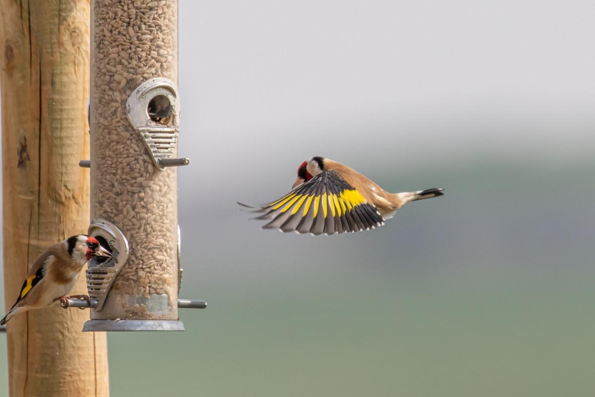 Goldfinch on feeder - Steven Whitcher / stock.adobe.com