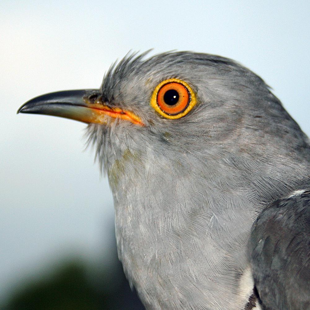Derek the Cuckoo