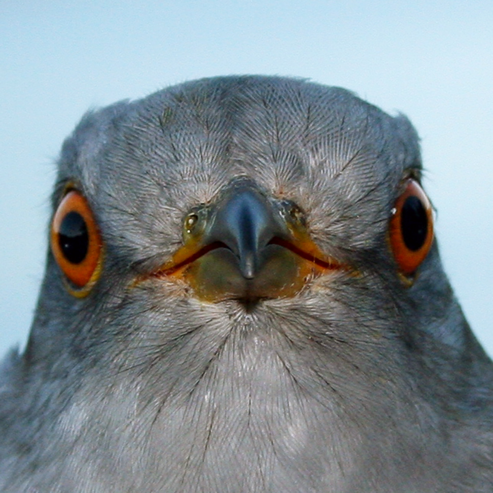 Wallace the Cuckoo