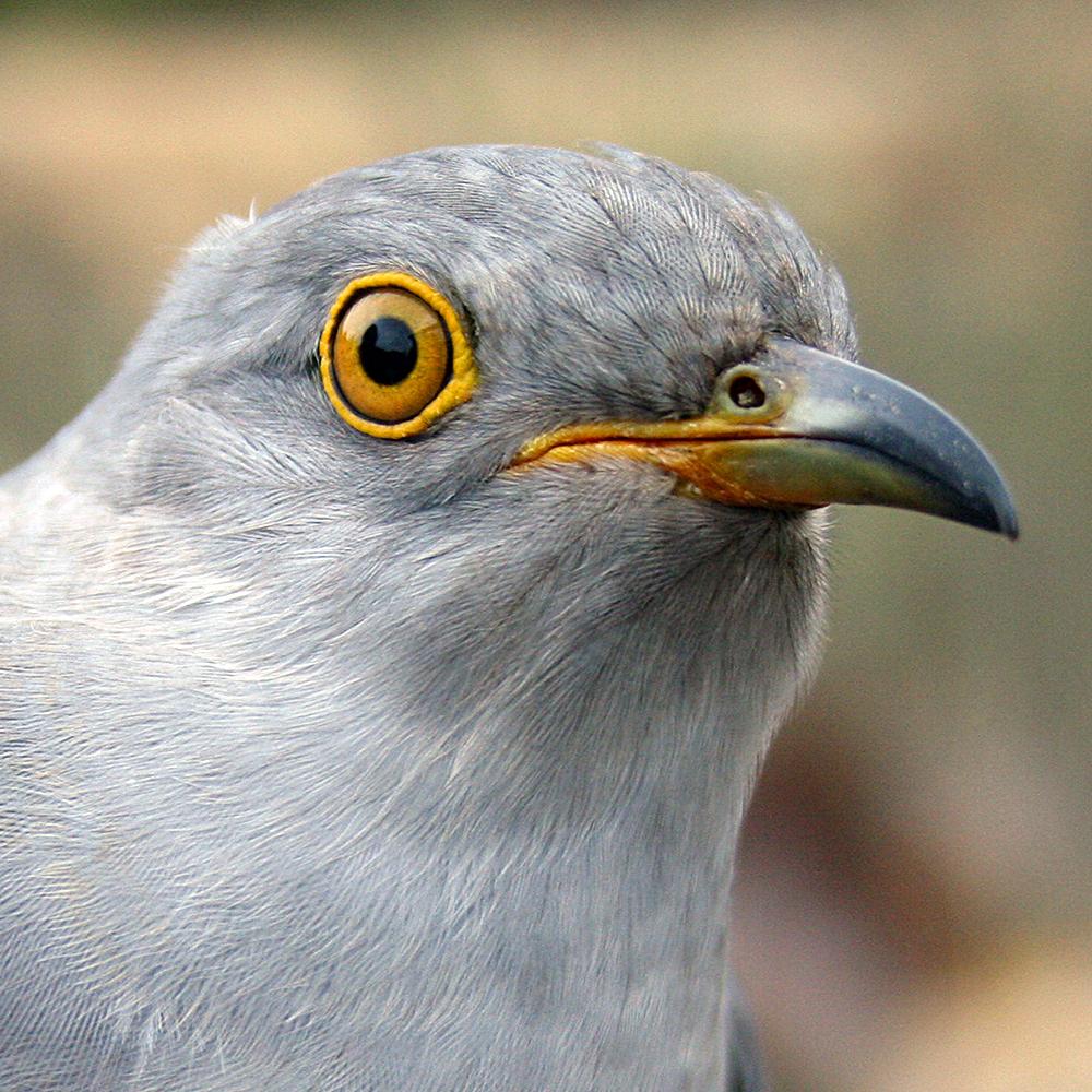 Waller the Cuckoo