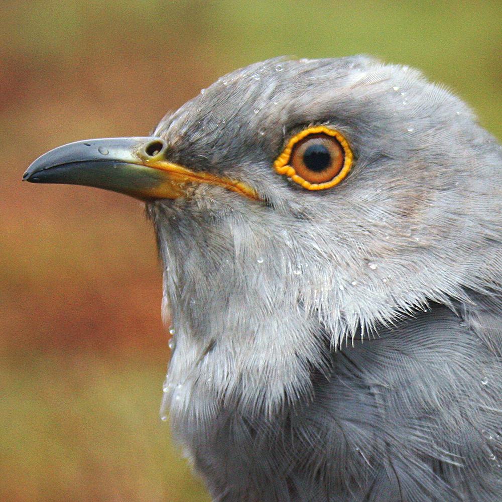 Tor the Cuckoo