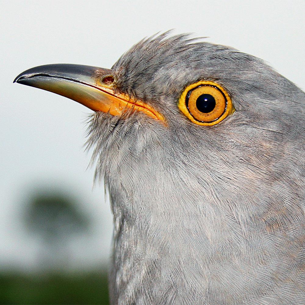 Ken the Cuckoo