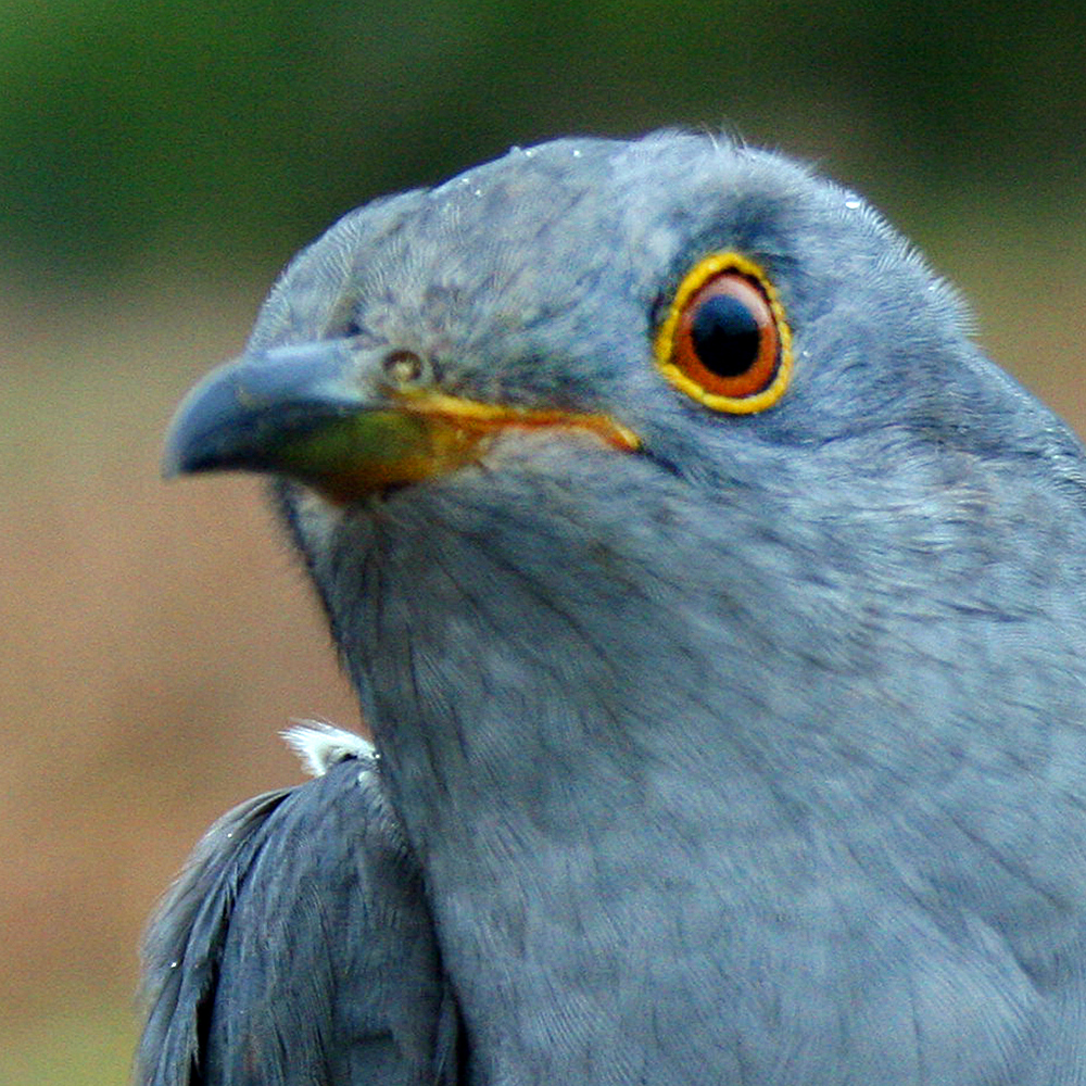Whortle the Cuckoo