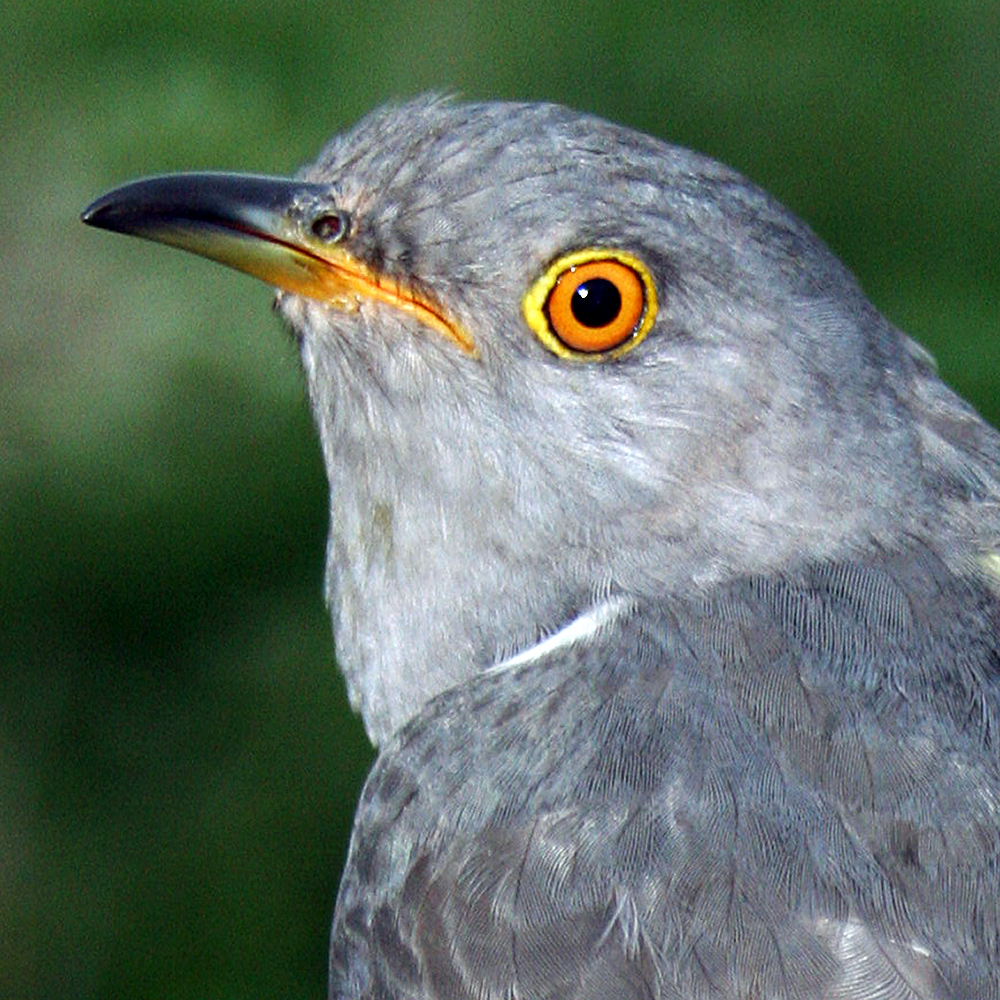 Nelson the Cuckoo