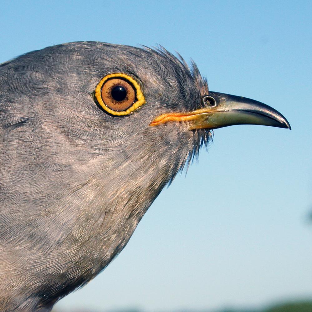 Skinner the Cuckoo