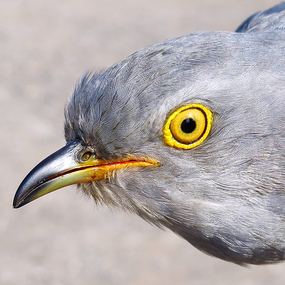 Dudley the Cuckoo