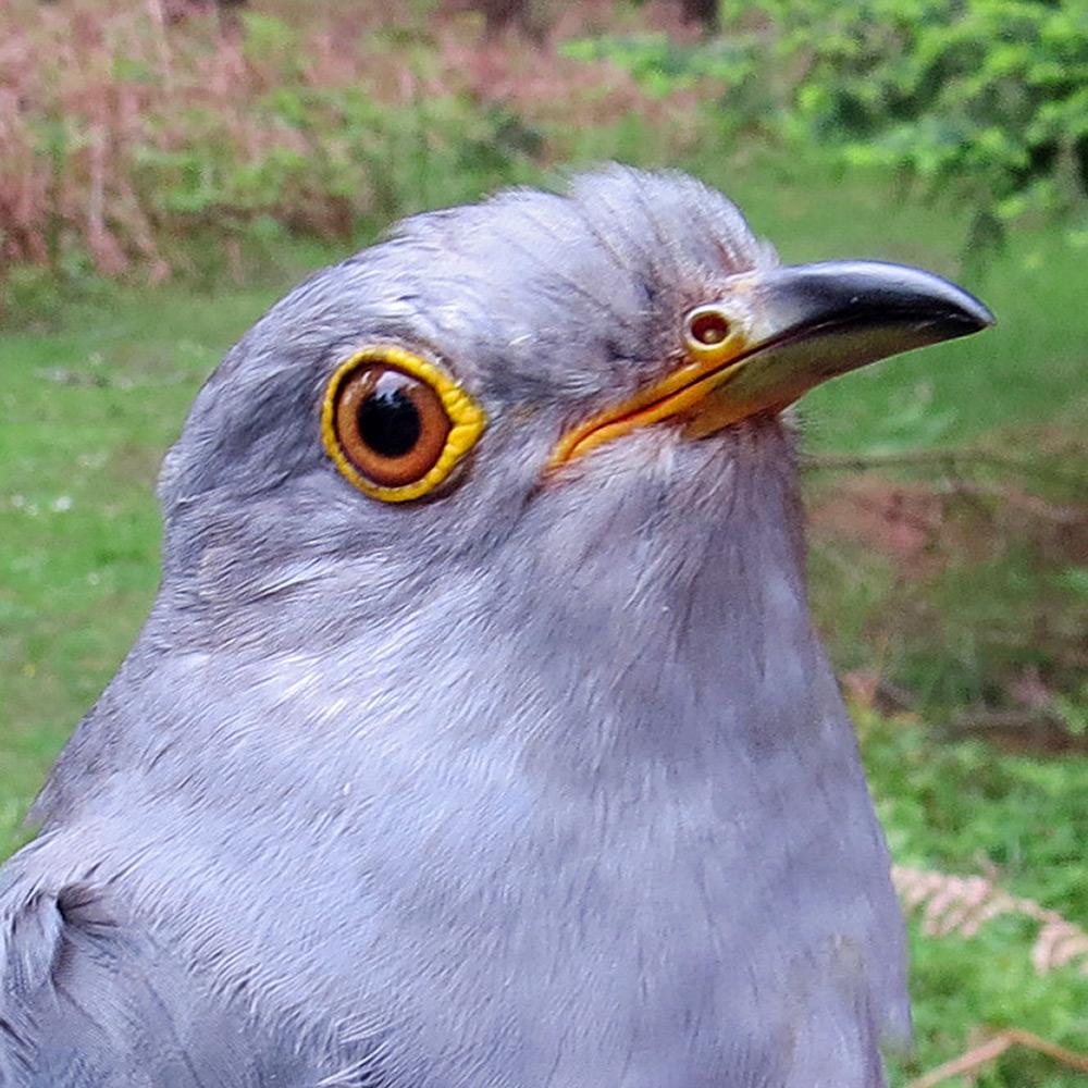 Gilbert the Cuckoo