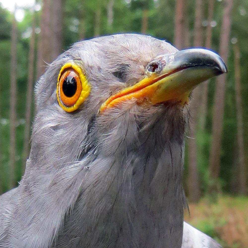 Peter the Cuckoo