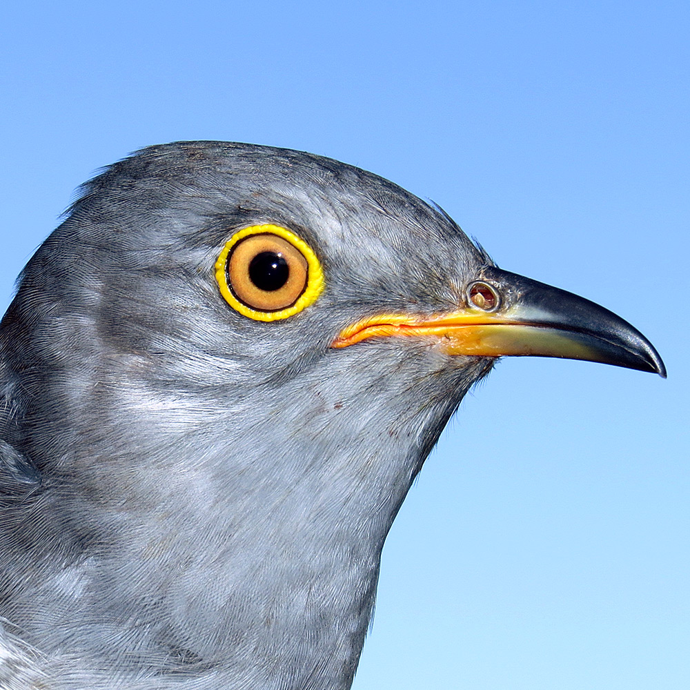 Maji the Cuckoo
