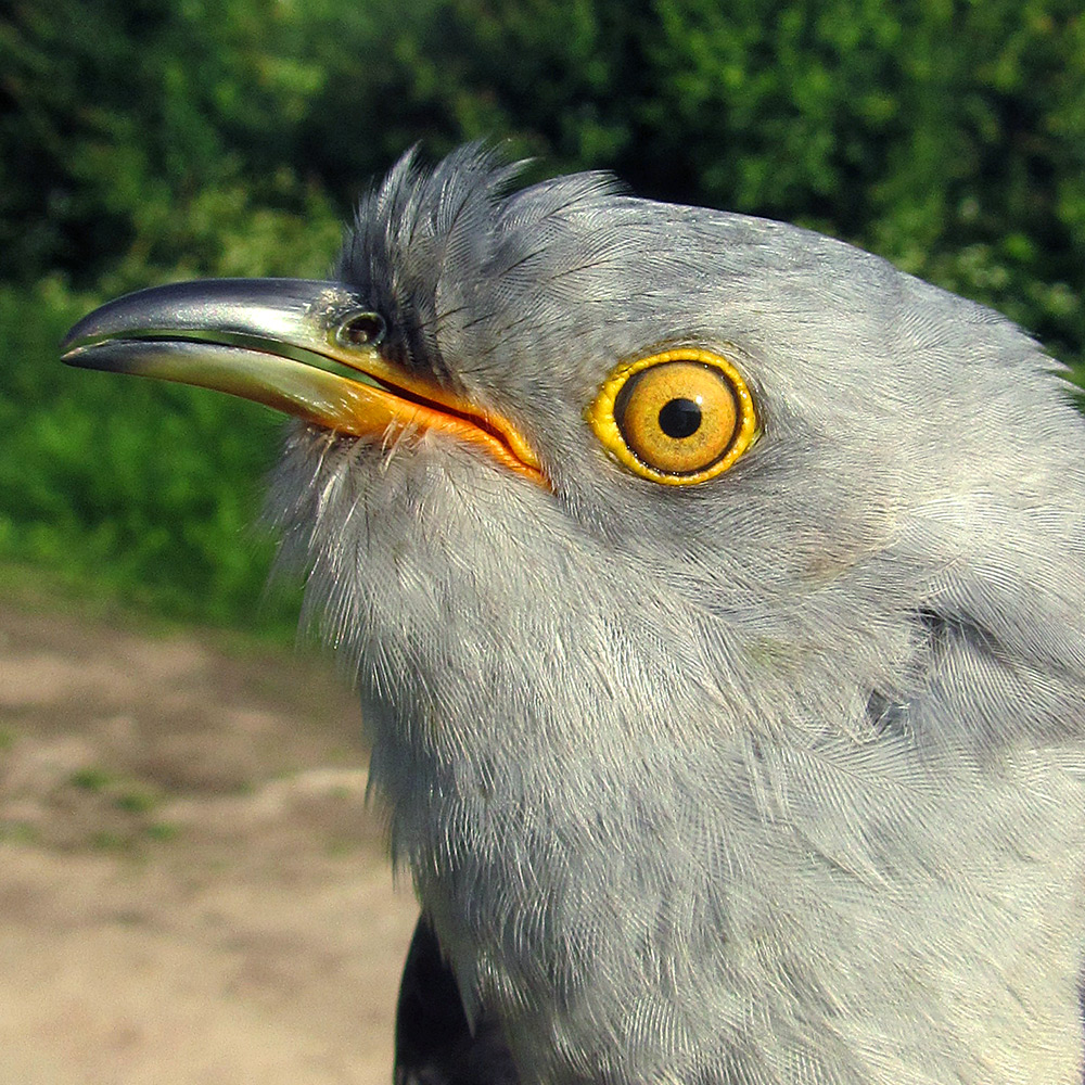 Gowk the Cuckoo