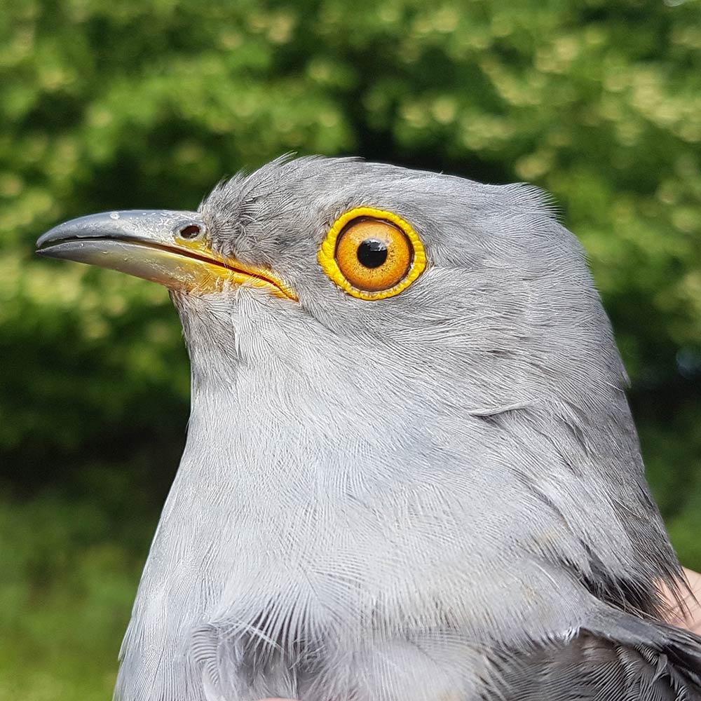 Senan the Cuckoo