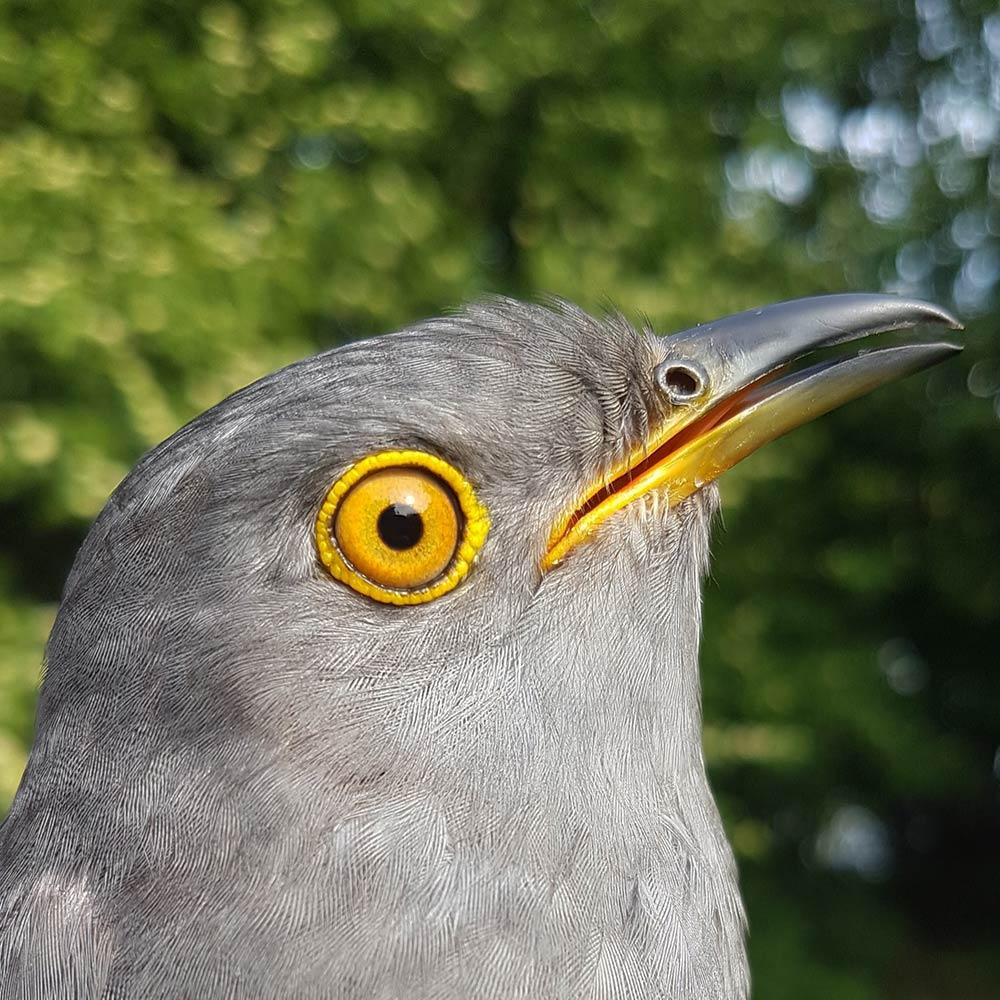 Valentine the Cuckoo