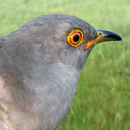 Stanley the Cuckoo