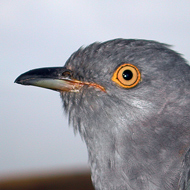 Sussex the Cuckoo
