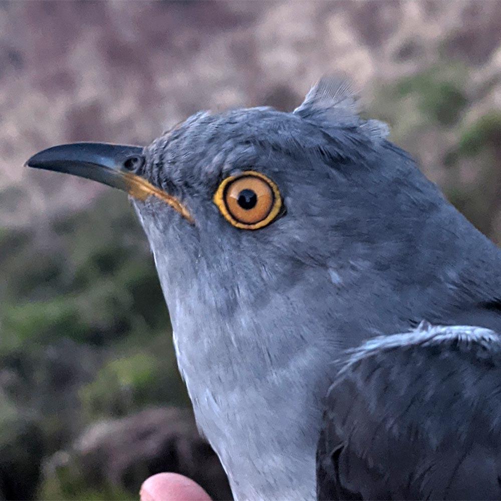 Ellis the Cuckoo