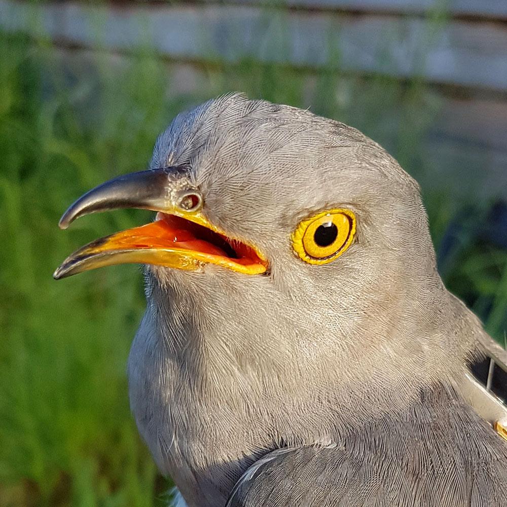 Calypso the Cuckoo