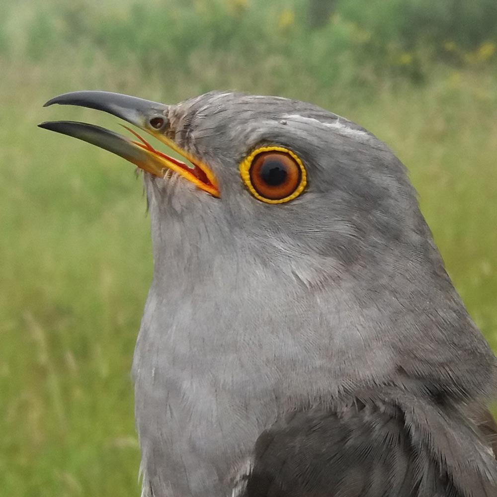 Sylvester the Cuckoo
