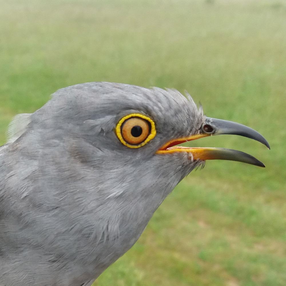 Thomas the Cuckoo