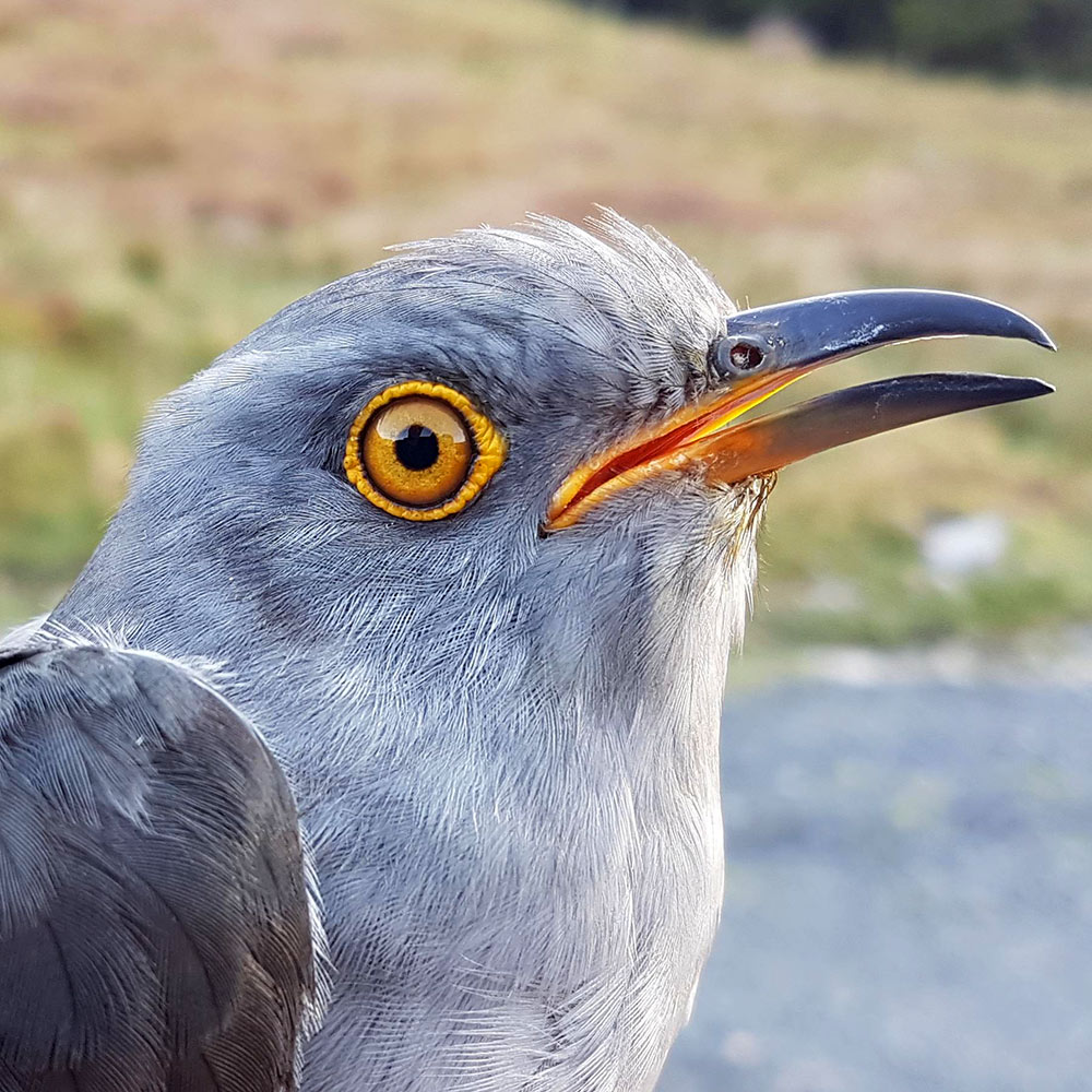 Robinson the Cuckoo