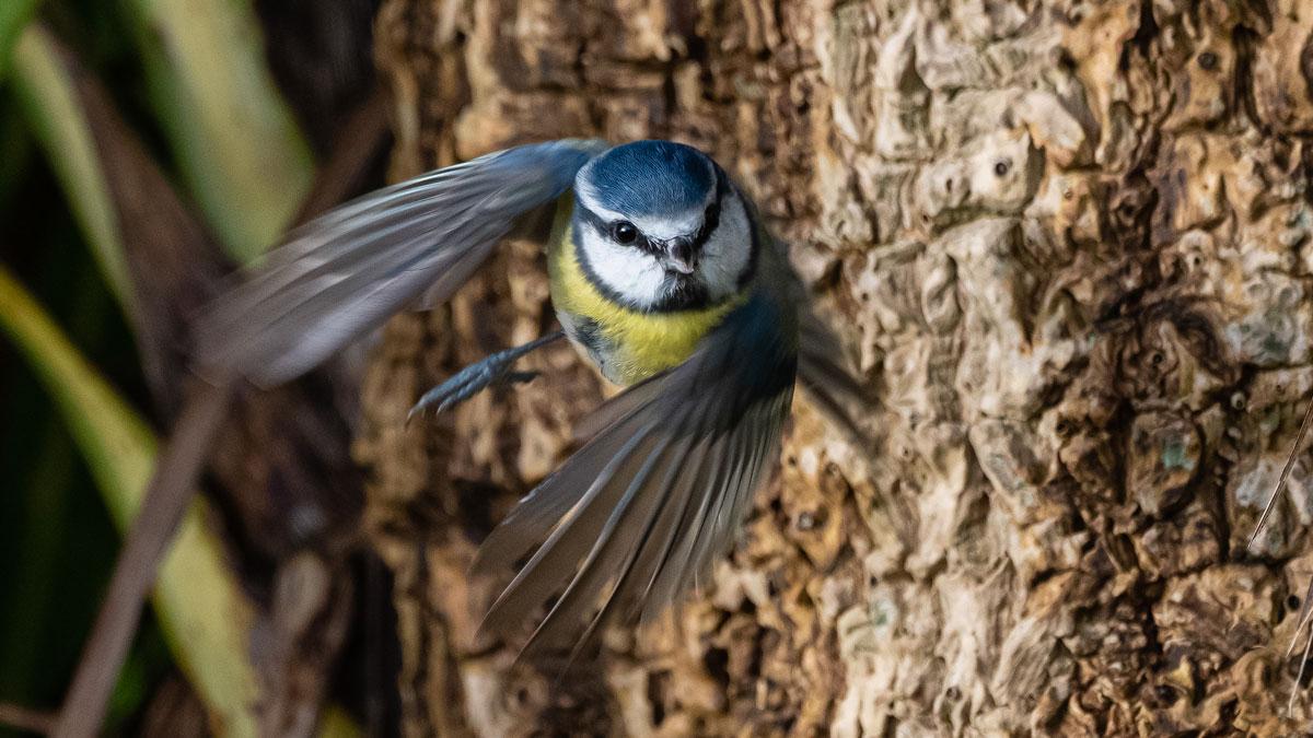 Blue Tit in flight. Philip Croft