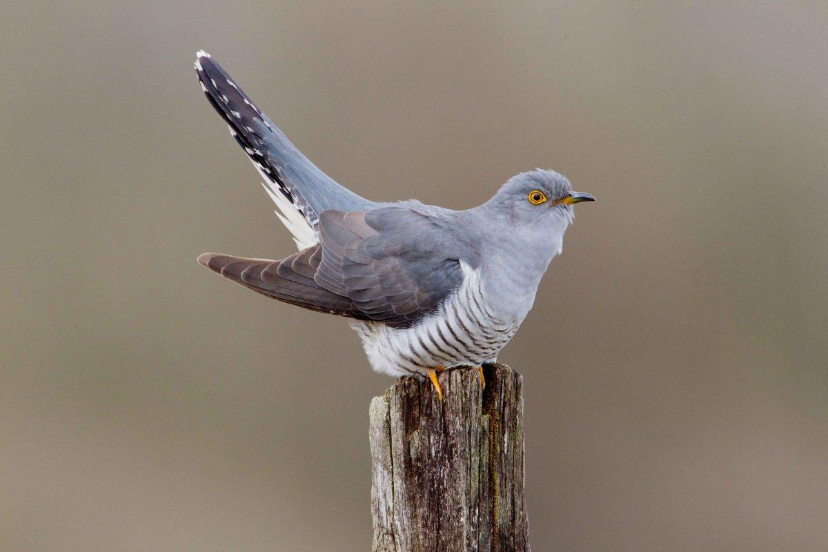 Cuckoo by Edmund Fellowes