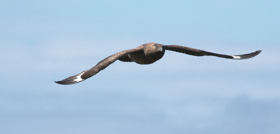 Great Skua. Edmund Fellowes