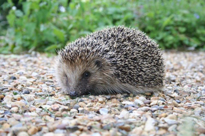 Hedgehog by Mike Toms