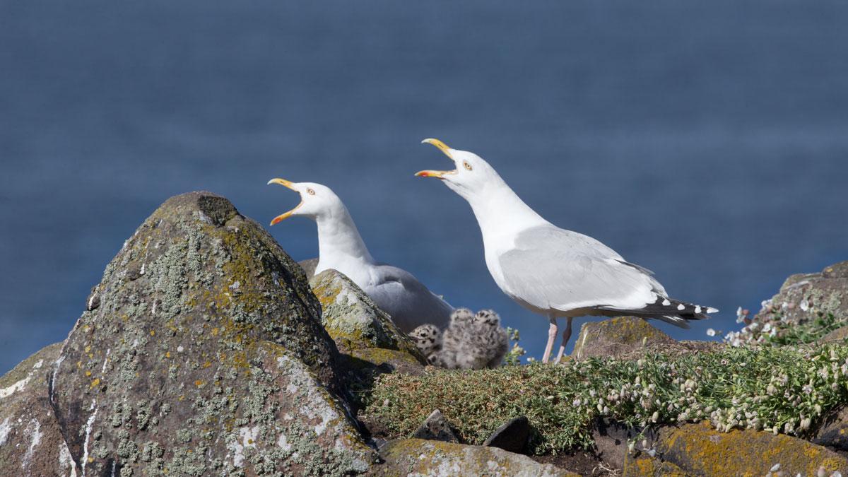 Herring Gulls with chicks. Edmund Fellowes