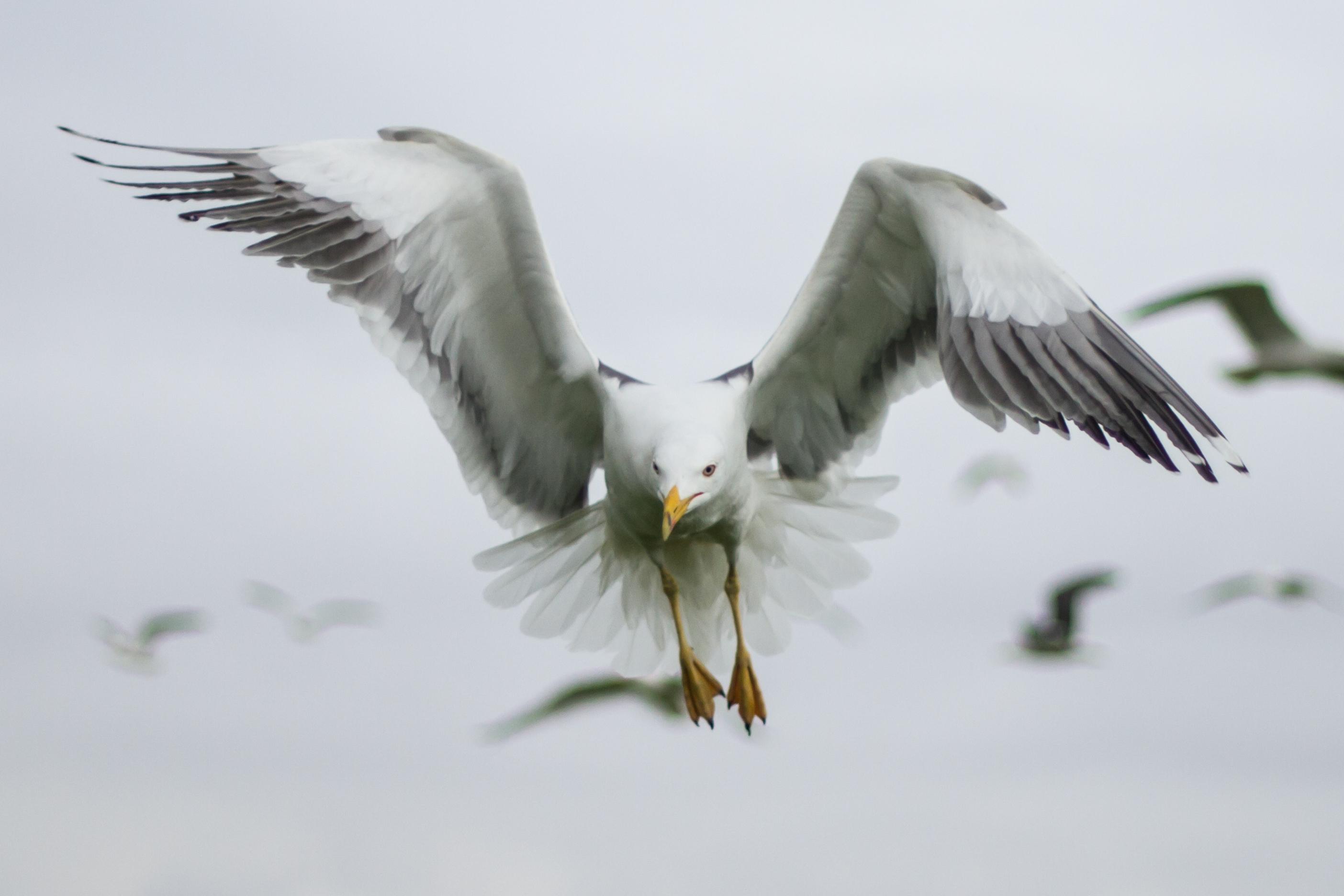 Lesser Black-backed Gull. Sam Whitfield