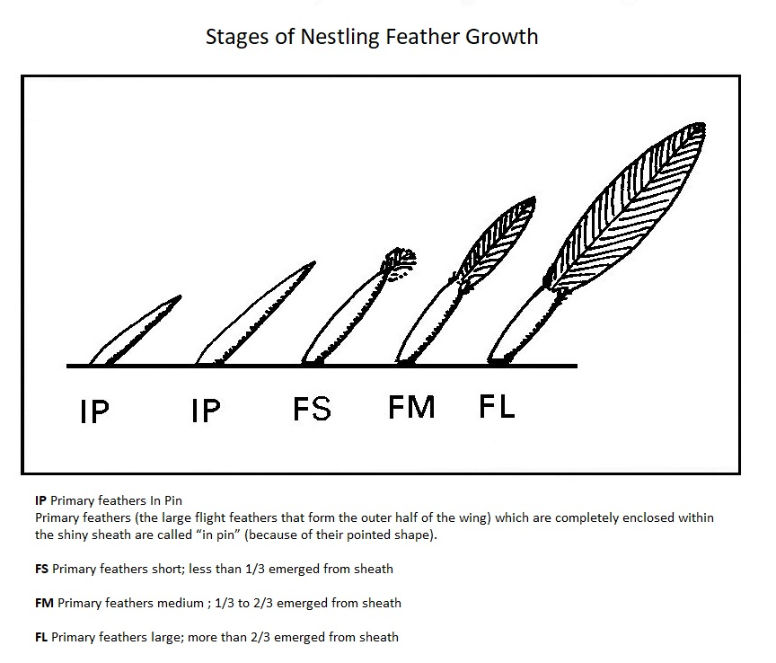 Feather Growth Stages