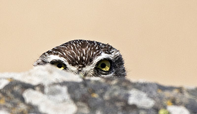Little Owl. Photograph by John Harding