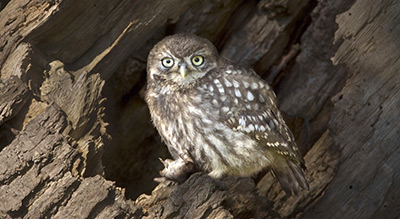 Little Owl. Photograph by Liz Cutting