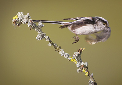Long-tailed Tit. Photograph by Edmund Fellowes