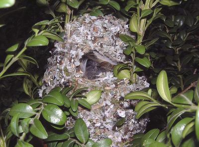 Long-tailed Tit nest. Photograph by Herbert & Howells