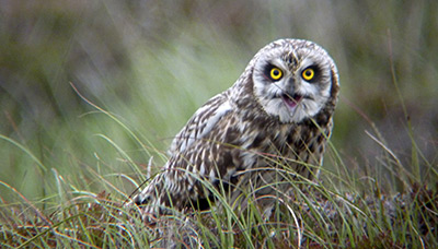 Short-eared Owl. Photograph by Anne Carrington-Cotton