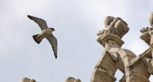Peregrines at Lincoln by Graham Catley