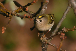 Goldcrest by Jill Pakenham