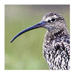 BTO Curlew Appeal