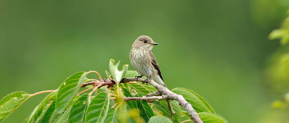 Spotted Flycatcher. Photograph by Jonathan Tyler